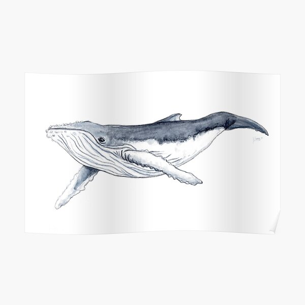 Humpback whale baby Poster