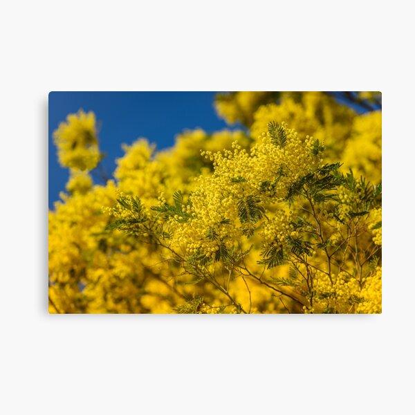 Floración amarilla del árbol de mimosa en primavera Lienzo