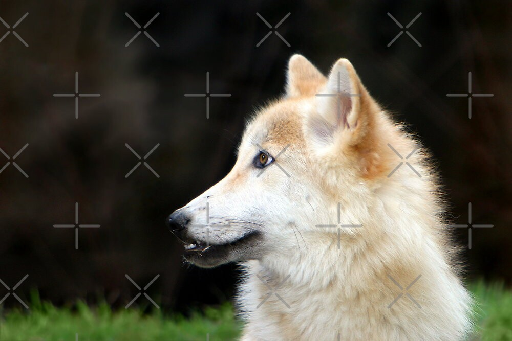 Timber Wolf by Lisa G. Putman