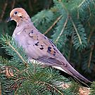 Mourning Dove by vette