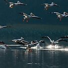 American White Pelicans in Baton Rouge, Louisiana by Bonnie T.  Barry