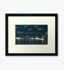 American White Pelicans in Baton Rouge, Louisiana Framed Print