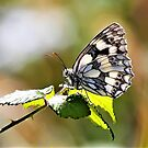 The Marbled White Butterfly by robmac