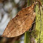Kallima inachus - Indian Leaf Butterfly by AnnDixon