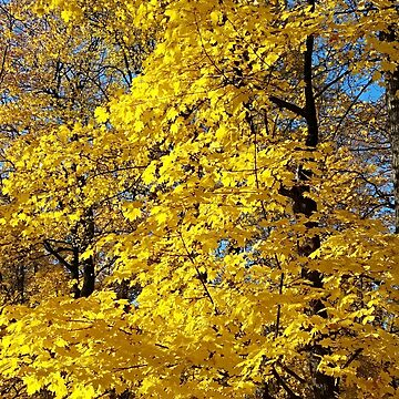 Golden fall maple trees and leaves by designer437