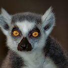 Lemur Buddy by TJ Baccari Photography