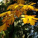 AUTUMN'S GLOWING LEAVES LIGHT UP THE DARK FOREST by Elaine Bawden
