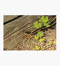 Garter Snake and Tongue Photographic Print