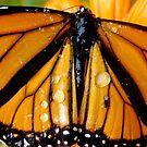 Monarch Butterfly  by Chrissy Ferguson