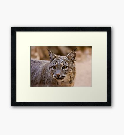 Portrait of a Bobcat Framed Print