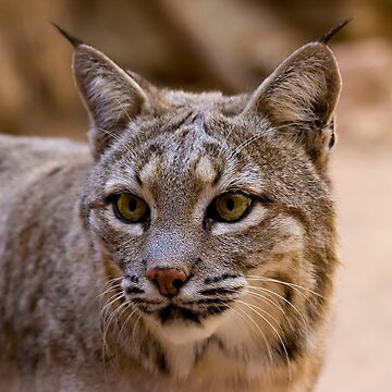 Portrait of a Bobcat by djm4