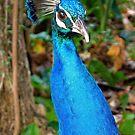 Vibrant Peacock by Chrissy Ferguson