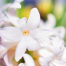 Soft Hyacinth by Kasia-D