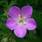 Wild Geranium by David Lamb