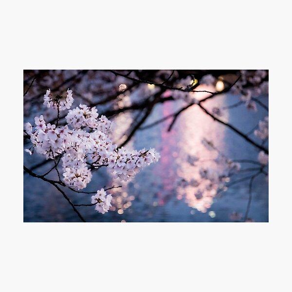Japanese Sakura at Night Photographic Print