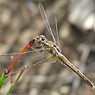 Bush Dragonfly by Rick Playle