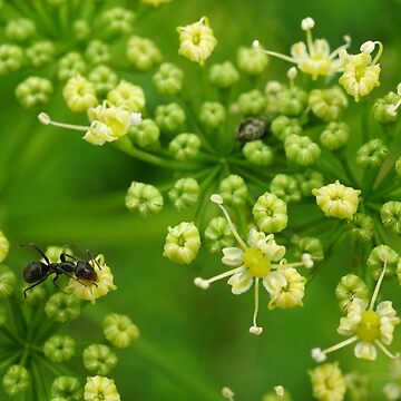 Ant in parsley flower by BigAndRed