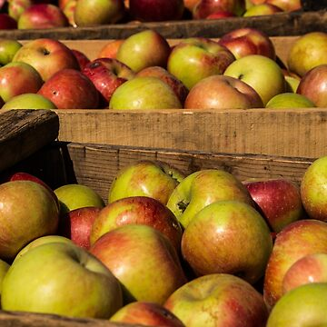 Apple Harvest by CarolM