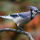 Blue Jay in Fall by hummingbirds