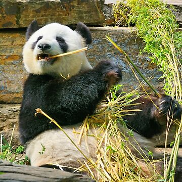 Giant Panda by gigges