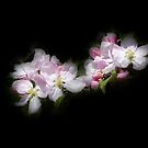 Apple Blossom on Black Canvas by Jim Key