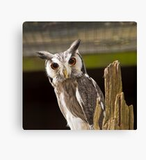 Northern White Faced Owl Canvas Print