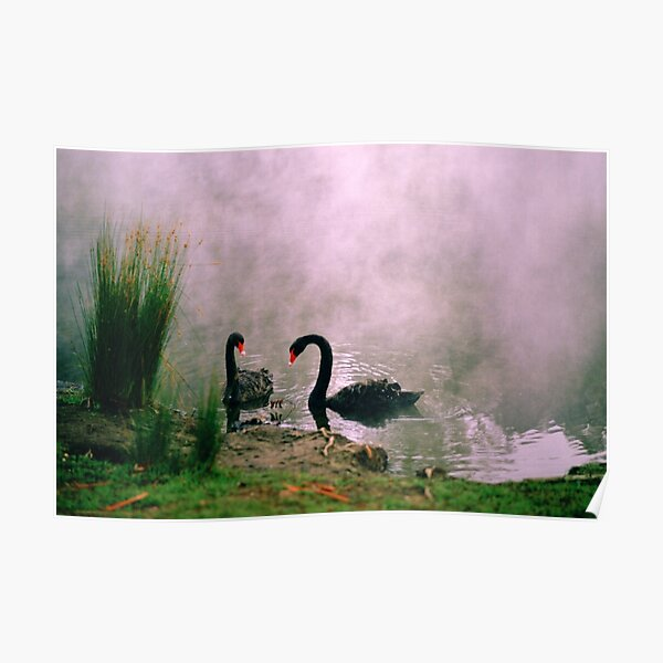 Swans,Daylesford Poster