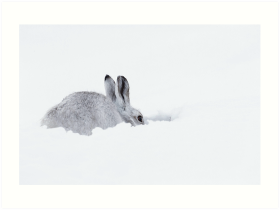 white mountain hare on snow covered mountain by chanonry