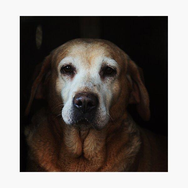 The ageing labrador Photographic Print