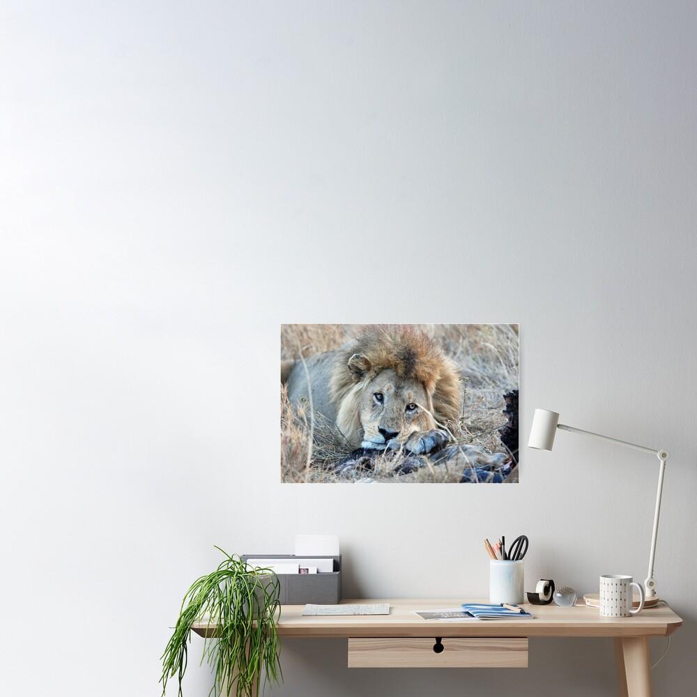 Male Lion - Serengeti Poster