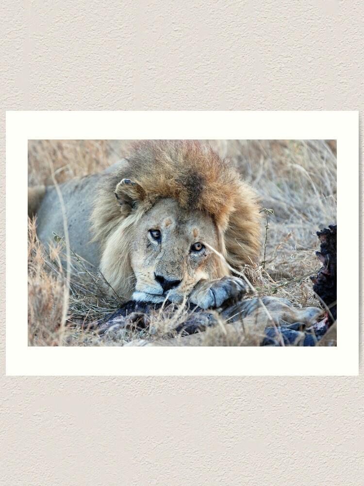 Alternate view of Male Lion - Serengeti Art Print