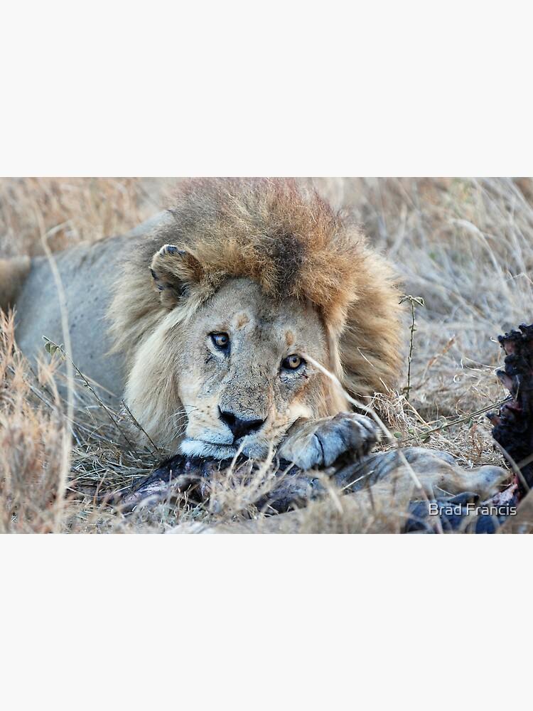 Male Lion - Serengeti by bfra
