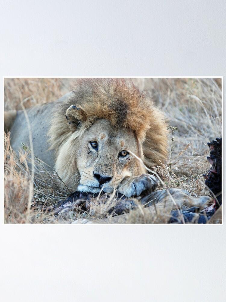Alternate view of Male Lion - Serengeti Poster