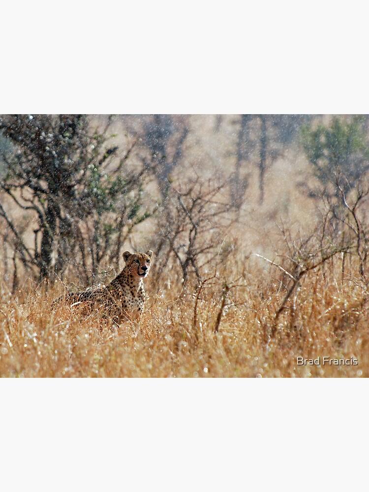 Male Cheetah - Serengeti rain by bfra