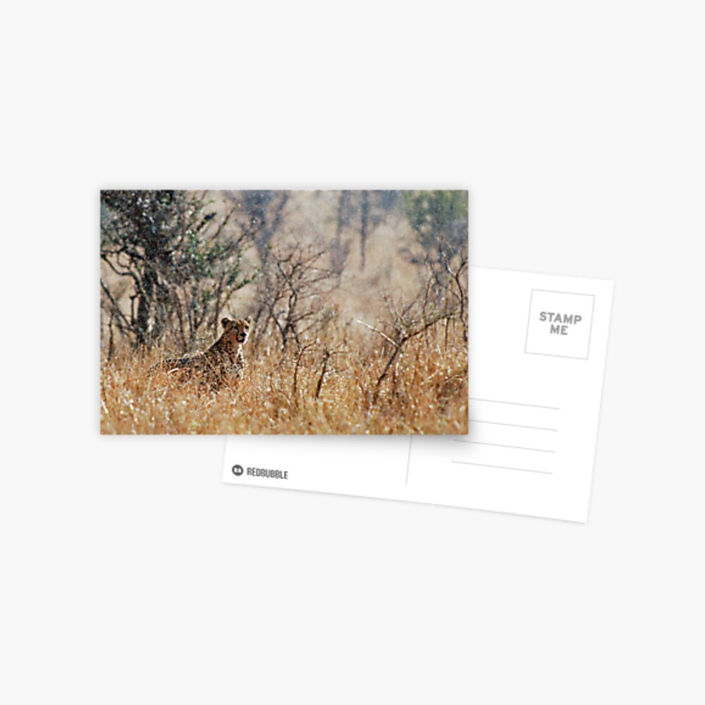 Male Cheetah - Serengeti rain Postcard
