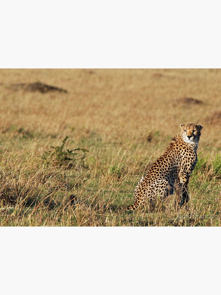 Cheetah - Masai Mara by bfra