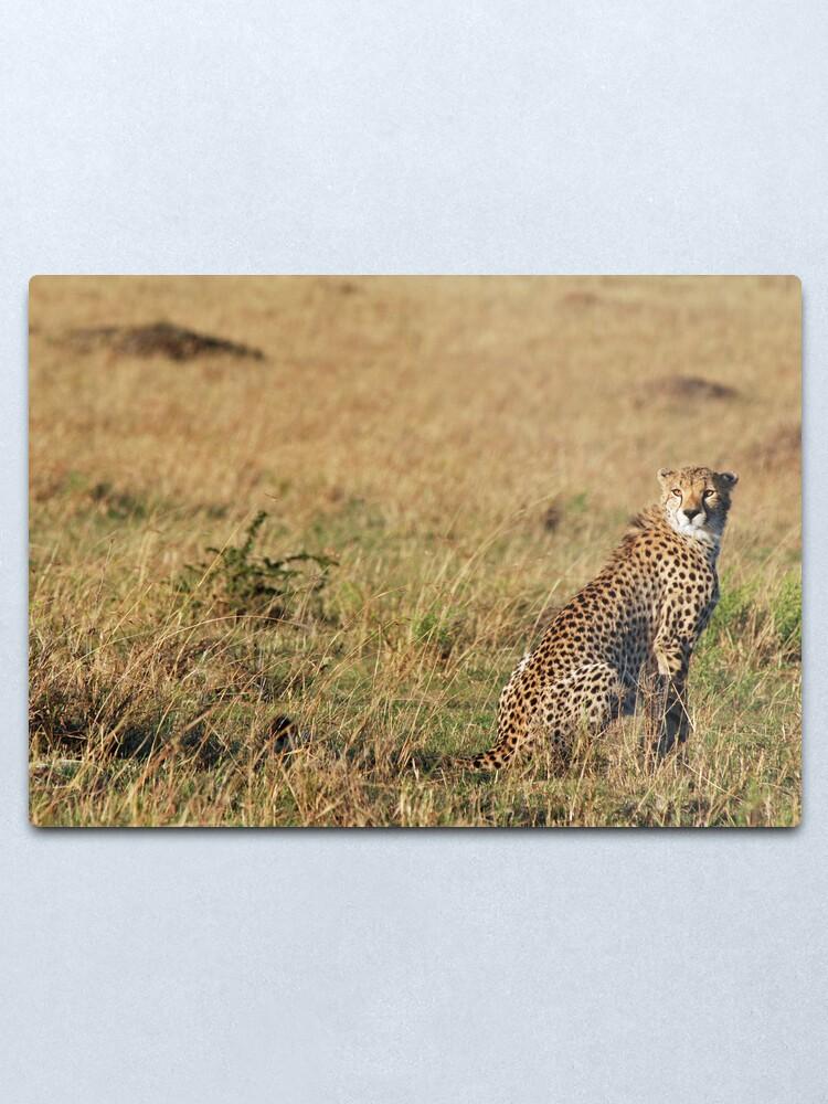 Alternate view of Cheetah - Masai Mara Metal Print