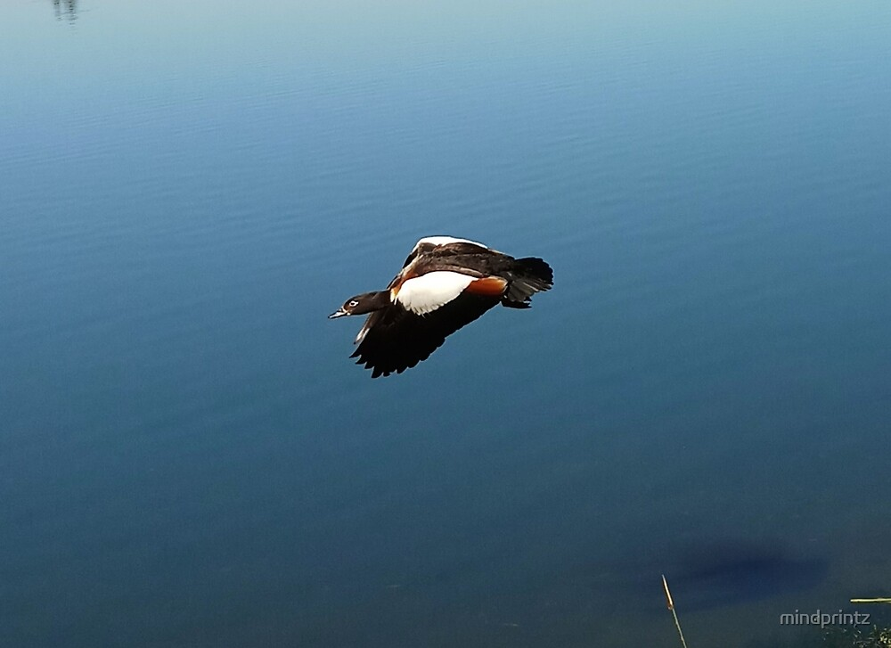 Flying Shelduck at Lake Monger by mindprintz