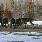 Supporting Our Deer Population by Brenda Dow
