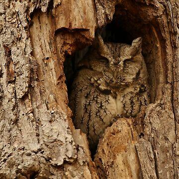 Sleepy Screech Owl (video with open eyes in description) by locustgirl