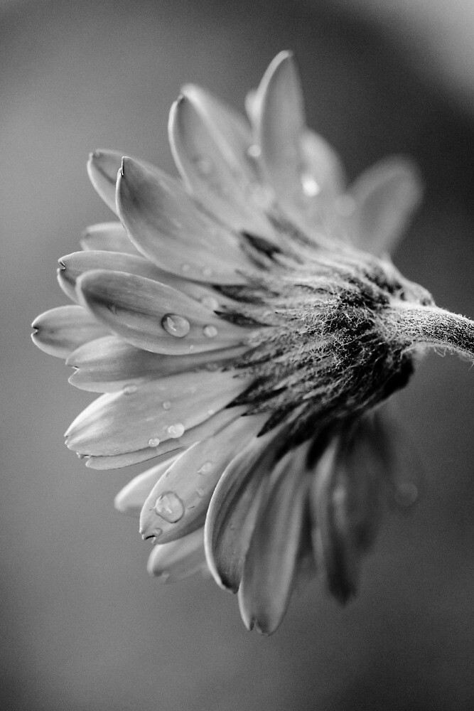 Behind the Gerbera Daisy by LuellaQ