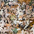 Top view of the fallen brown oak leaves on the surface of the lawn for use as a background by vladromensky