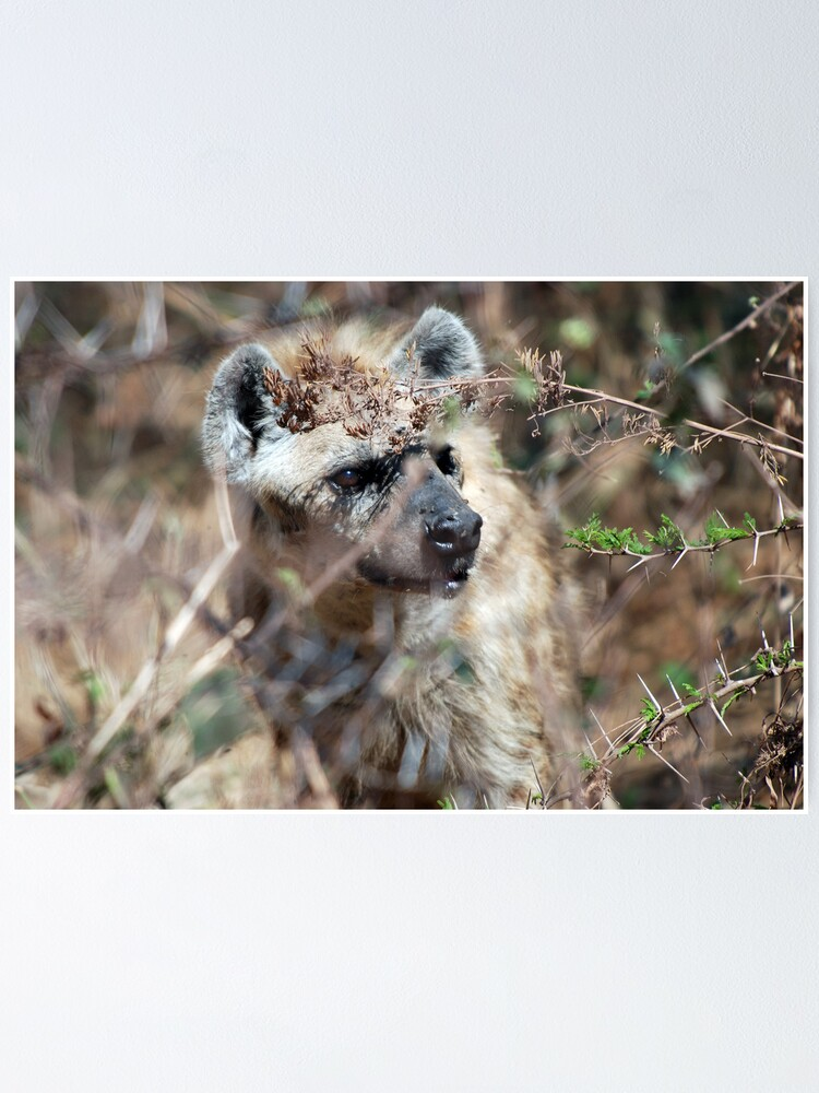 Alternate view of Spotted Hyena - Ngorongoro Crater Poster
