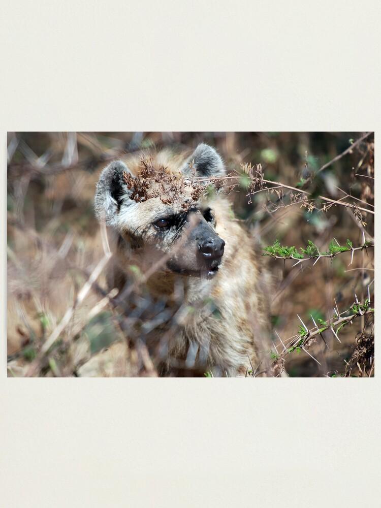 Alternate view of Spotted Hyena - Ngorongoro Crater Photographic Print