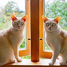Burmese cats in window by Jenny Setchell