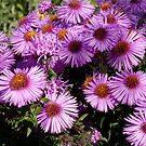 A Carpet of Asters by Sandra Fortier