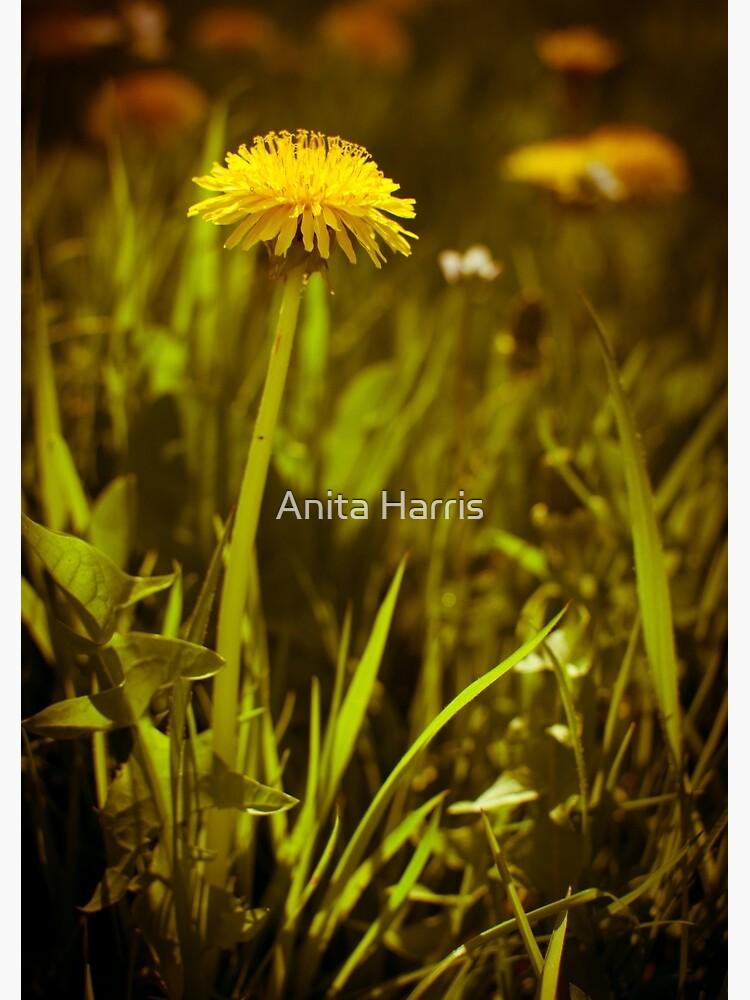 Dandelion by plasticflower
