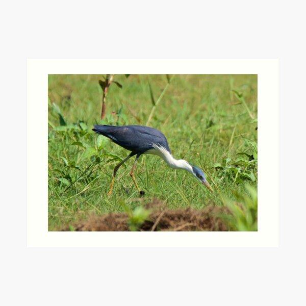 NT ~ WADER ~ Pied Heron by David Irwin ~ WO Art Print