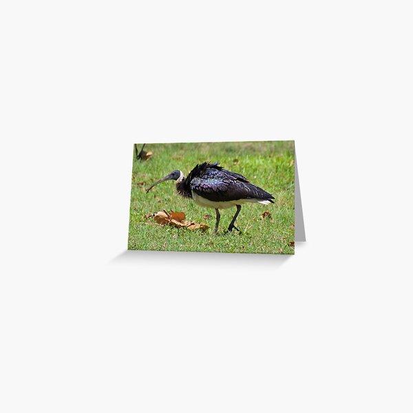 NT ~ WADER ~ Straw-necked Ibis 5GQQKFSD by David Irwin ~ WO Greeting Card
