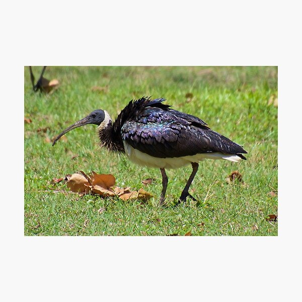 NT ~ WADER ~ Straw-necked Ibis by David Irwin ~ WO Photographic Print